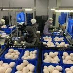 В Подмосковье открылся грибной комплекс мощностью 5000 тонн грибов в год